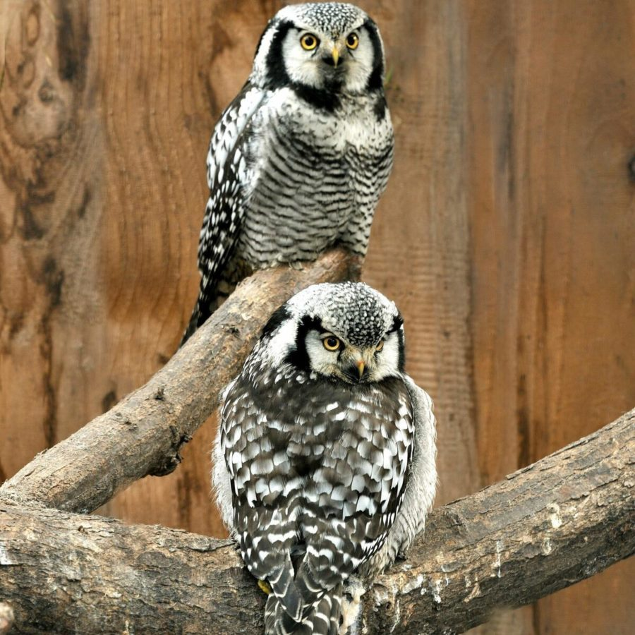 2 black and white Owls perched on branches