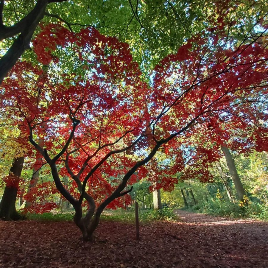 Queenswood Arboretum in autumn with acer trees with orange and red and green leaves
