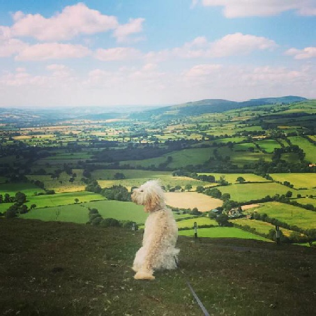 White dog overlooking hills and fields on the Mortimer Trail